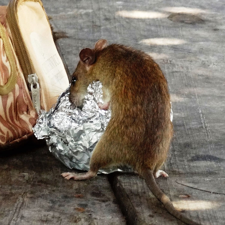 how to get rid of palm rats in attic